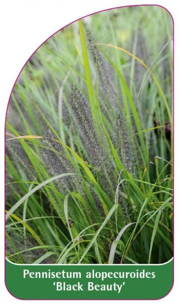 Pennisetum alopecuroides 'Black Beauty', 68 x 120 mm