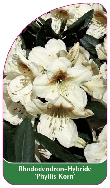 Rhododendron-Hybride 'Phyllis Korn', 68 x 120 mm