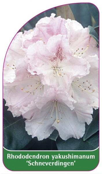 Rhododendron yakushimanum 'Schneverdingen', 68 x 120 mm