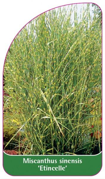 Miscanthus sinensis 'Etincelle', 68 x 120 mm