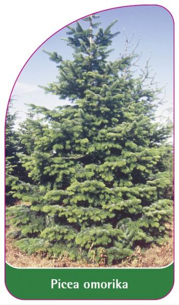 Picea omorika, 68 x 120 mm