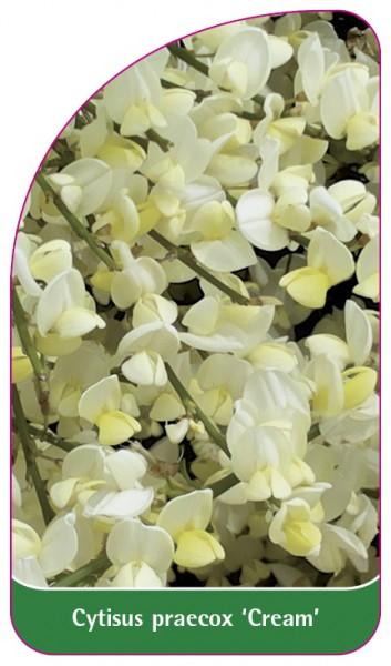 Cytisus praecox 'Cream', 68 x 120 mm