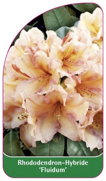 Rhododendron-Hybride 'Fluidum', 68 x 120 mm