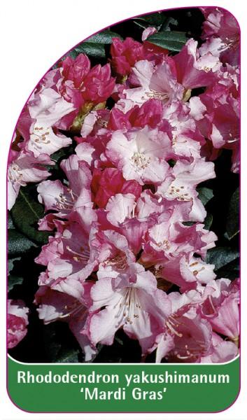 Rhododendron yakushimanum 'Mardi Gras', 68 x 120 mm
