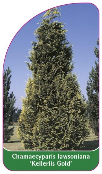 Chamaecyparis Iawsoniana 'Kelleriis Gold', 68 x 120 mm