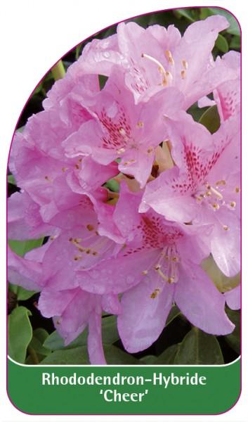 Rhododendron-Hybride 'Cheer', 68 x 120 mm