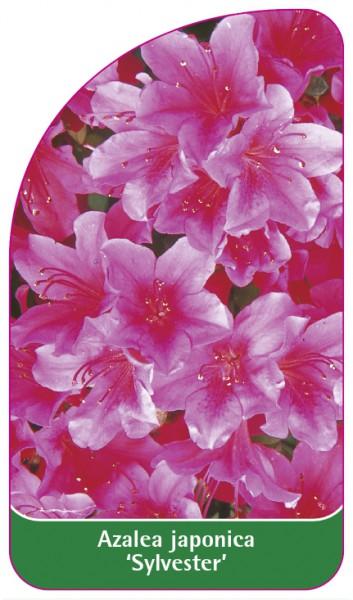 Azalea japonica 'Sylvester', 68 x 120 mm