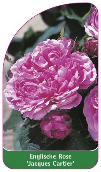 Englische Rose 'Jacques Cartier', 68 x 120 mm