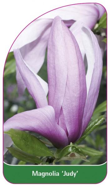 Magnolia 'Judy', 68 x 120 mm