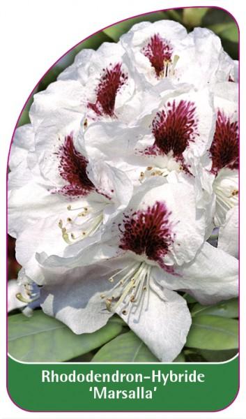 Rhododendron-Hybride 'Marsalla', 68 x 120 mm