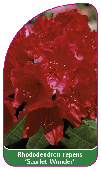 Rhododendron repens 'Scarlet Wonder', 52 x 90 mm