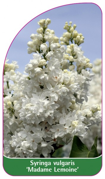Syringa vulgaris 'Madame Lemoine', 68 x 120 mm