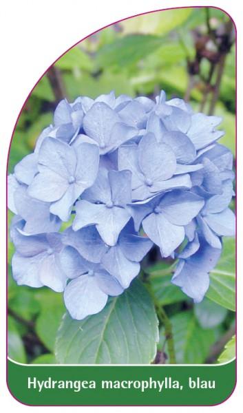 Hydrangea macrophylla, blau, 68 x 120 mm