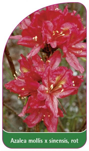 Azalea mollis x sinensis, rot, 68 x 120 mm