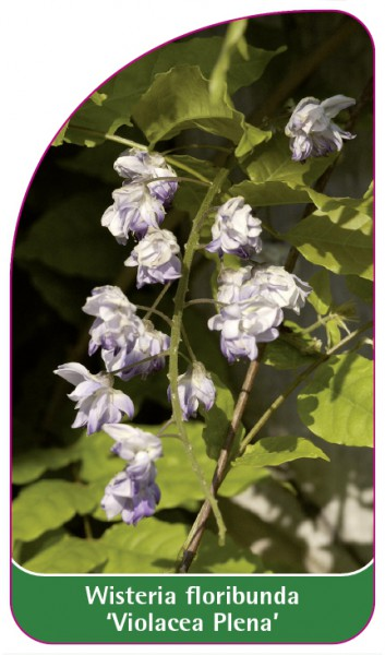 Wisteria floribunda 'Violeacea Plena', 68 x 120 mm