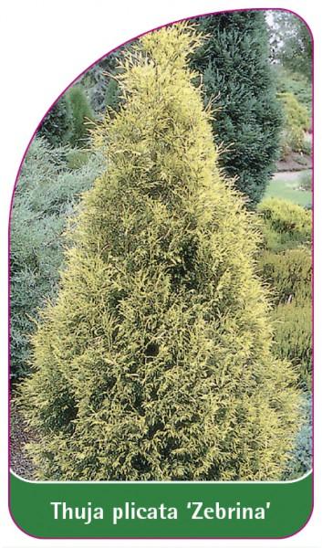 Thuja plicata 'Zebrina', 68 x 120 mm