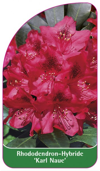Rhododendron-Hybride 'Karl Naue', 68 x 120 mm