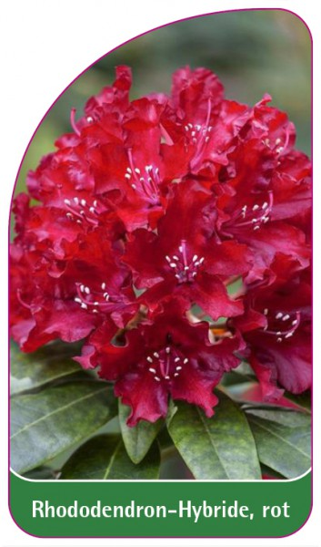 Rhododendron-Hybride, rot, 68 x 120 mm