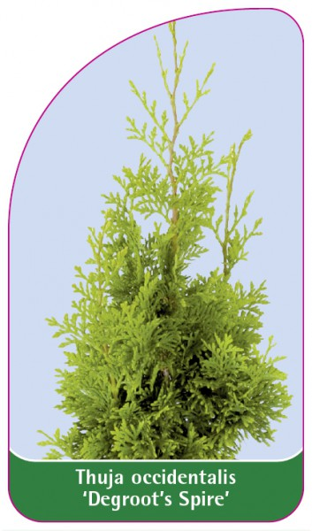 Thuja orientalis 'Degroot's Spire', 68 x 120 mm
