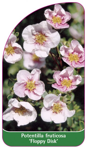 Potentilla fruticosa 'Floppy Disk', 68 x 120 mm