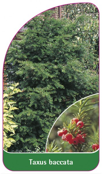 Taxus baccata, 68 x 120 mm