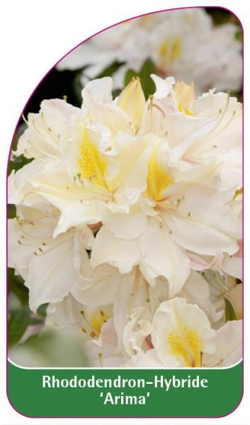 Rhododendron-Hybride 'Arima', 68 x 120 mm
