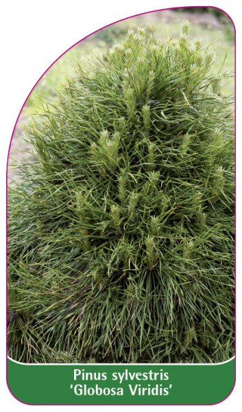 Pinus sylvestris 'Globosa Viridis', 68 x 120 mm