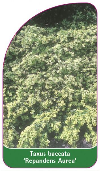 Taxus baccata 'Repandens Aurea', 68 x 120 mm