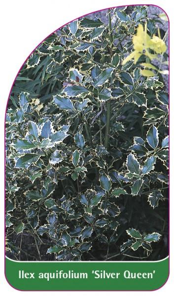 Ilex aquifolium 'Silver Queen', 68 x 120 mm