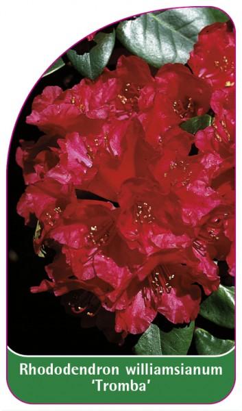 Rhododendron williamsianum 'Tromba', 68 x 120 mm