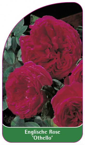Englische Rose 'Othello', 68 x 120 mm