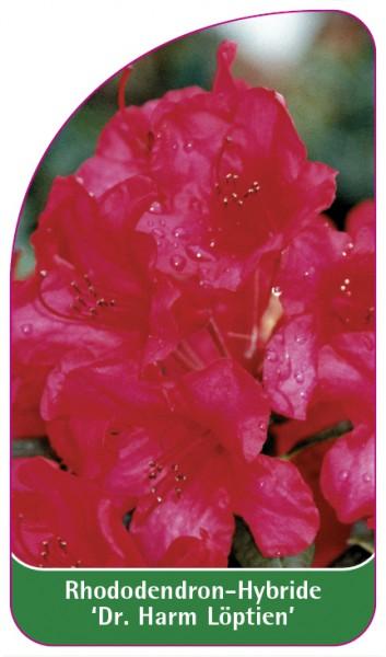 Rhododendron-Hybride 'Dr. Harm Löptien', 68 x 120 mm