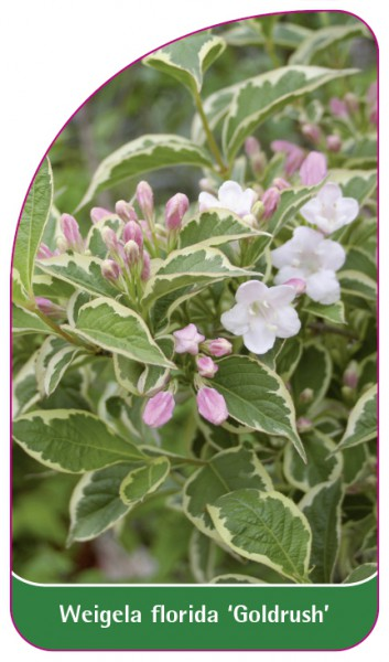 Weigela florida 'Goldrush', 68 x 120 mm