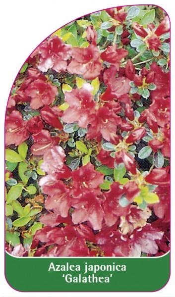 Azalea japonica 'Galathea', 68 x 120 mm