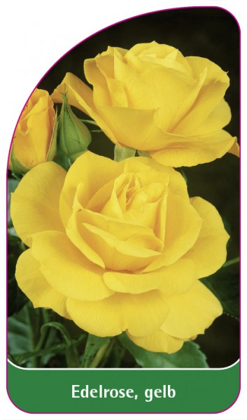 Edelrose, gelb, 68 x 120 mm
