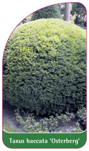 Taxus baccata 'Osterberg', 68 x 120 mm