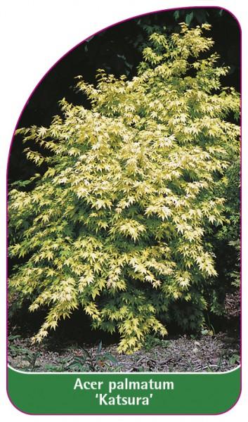 Acer palmatum 'Katsura', 68 x 120 mm
