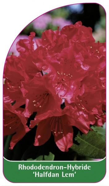 Rhododendron-Hybride 'Halfdan Lem', 68 x 120 mm