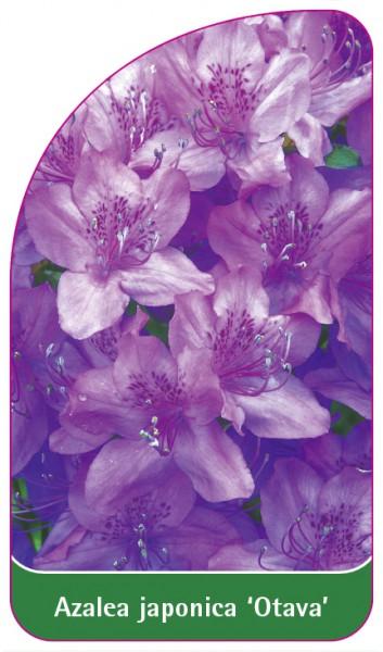 Azalea japonica 'Otava', 68 x 120 mm