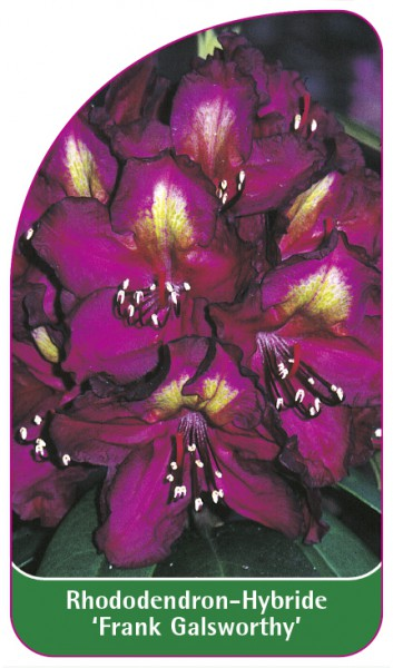 Rhododendron-Hybride 'Frank Galsworthy', 68 x 120 mm