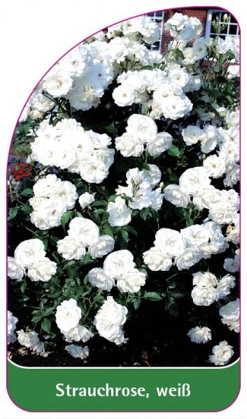 Strauchrose, weiß, 68 x 120 mm