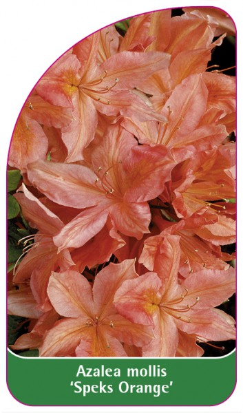 Azalea mollis 'Speks Orange', 68 x 120 mm