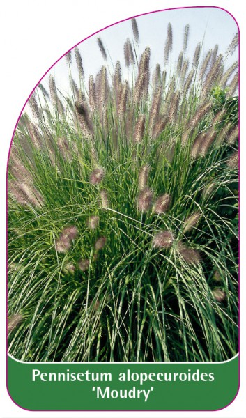Pennisetum alopecuroides 'Moudry', 68 x 120 mm