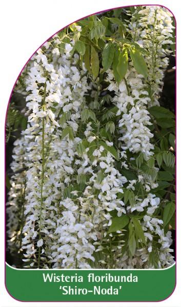 Wisteria floribunda 'Shiro-Noda', 68 x 120 mm