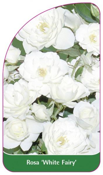 Rosa 'White Fairy', 68 x 120 mm