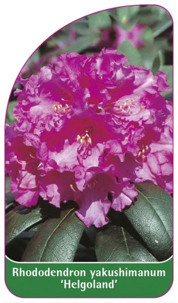 Rhododendron yakushimanum 'Helgoland', 68 x 120 mm