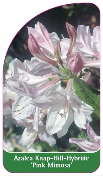 Azalea Knap-Hill-Hybride 'Pink Mimosa', 68 x 120 mm