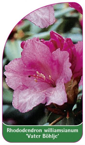 Rhododendron williamsianum 'Vater Böhlje', 68 x 120 mm