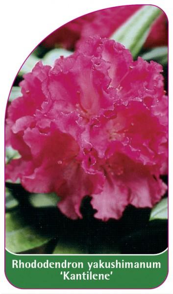 Rhododendron yakushimanum 'Kantilene', 68 x 120 mm