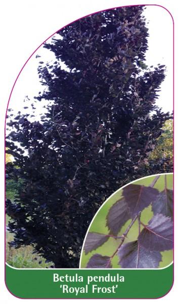 Betula pendula 'Royal Frost', 68 x 120 mm